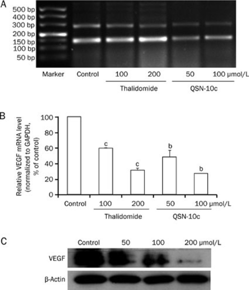 Effects of QSN-10c on VEGF expression in HUVECs. (A) Electrophoresis bands expressed with VEGF and internal standard GAPDH mRNA in various groups treated with different concentrations of thalidomide and QSN-10c. The upper bands were corresponded to VEGF, and the lower to GAPDH. (B) Relative VEGF mRNA levels were quantified by integral optical density analysis of the bands from (A) and then normalization to GAPDH in HUVECs. Cells received thalidomide as positive control. Data are expressed as percentages of the vehicle control (100%) in mean±SD from three independent experiments. bP<0.05, cP<0.01 compared with control. (C) HUVECs were treated with QSN-10c for 24 h. Cell extract was prepared and subjected to Western blot using anti-VEGF antibody. β-Actin served as a loading control. QSN-10c decreased VEGF protein expression in HUVECs in a dose dependent manner as detected by Western blot.