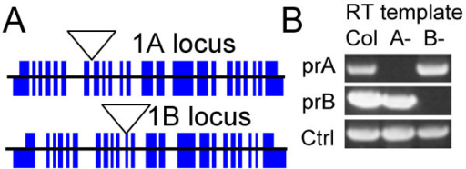 AtRaptor loci and insertion allele characterization. (A) AtRaptor1A and AtRaptor1B loci. Genomic sequence is depicted as a thin central line. Thick blocks indicate exons. Coding exons span the central line; exons encoding untranslated regions are fully below the central line. The positions of the T-DNA insertions are depicted with inverted triangles. (B) Reverse-Transcribed RNA-template Polymerase Chain Reactions (RT-PCR) on plants homozygous for both wild-type AtRaptor alleles (Col), the AtRaptor1A insertion allele (A-) or the AtRaptor1B insertion allele (B-), using primers spanning the AtRaptor1A insertion site, the AtRaptor1B insertion site, or control primers. Both AtRaptor insertion alleles abolish accumulation of the wild-type transcript from their locus.