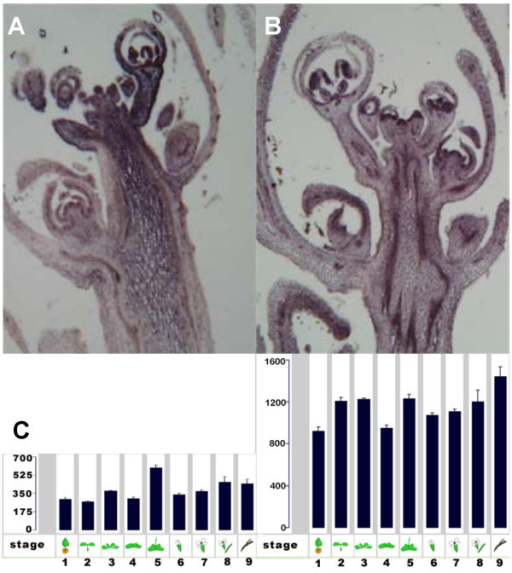 AtRaptor accumulation pattern. (A) AtRaptor transcripts accumulate throughout the floral shoot apex, stem and differentiating floral buds. Accumulation is not confined to dividing or meristematic cells, but fades in intensity away from the apex. (B) Adjacent tissue slice, probed with actin. AtRaptor and actin transcript accumulation patterns differ. (C) In silico analysis of AtRaptor1A (left) and AtRaptor1B (right) accumulation from 1434 developmental gene chip experiments. Results are given by developmental stage (X-axis) and in terms of gene chip-normalized expression levels (Y-axis). Expression levels are shown to scale. Developmental stages are as follows: 1, 1.0–5.9 days; 2, 6.0–13.9 days; 3, 14.0–17.9 days; 4, 18.0–20.9 days; 5, 21.0–24.9 days; 6, 25.0–28.9 days; 7, 29.0–35.9 days; 8, 36.0–44.9 days; 9, 45.0–50.0 days. Analyses performed via the genevestigator website .