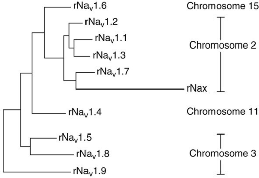 A phylogenetic tree of voltage-gated sodium channel α-subunits. Rat sodium channel protein sequences were aligned using ClustalW and the tree was constructed using PAUP. The human chromosomes on which the human ortholog of each rat gene is found are shown on the right. Adapted from [13].