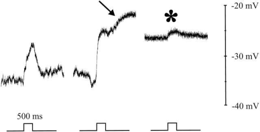 Surround-induced depolarizing responses in a cone with [Cl]i = 50 mM. Occasionally the cone depolarized spontaneously or remained depolarized for a long time (arrow). In this depolarized condition, only small surround-induced responses could be measured (*). The scaling and surround stimulus are indicated in the figure.
