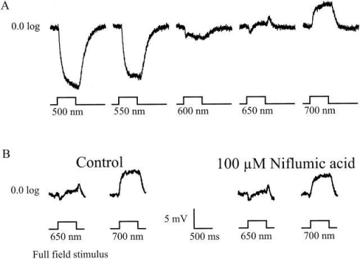 (A) Light responses of a biphasic horizontal cell, in normal Ringers solution, to 500-ms lasting full-field light stimuli with wavelengths ranging from 500 to 700 nm in 50-nm steps. (B) Biphasic horizontal cell responses to 500-ms lasting full-field light stimuli of 600, 650, and 700 nm. (Left) Depolarizing light responses in control Ringers solution. (Right) Depolarizing light responses recorded in a 100-μM niflumic acid containing Ringers solution.