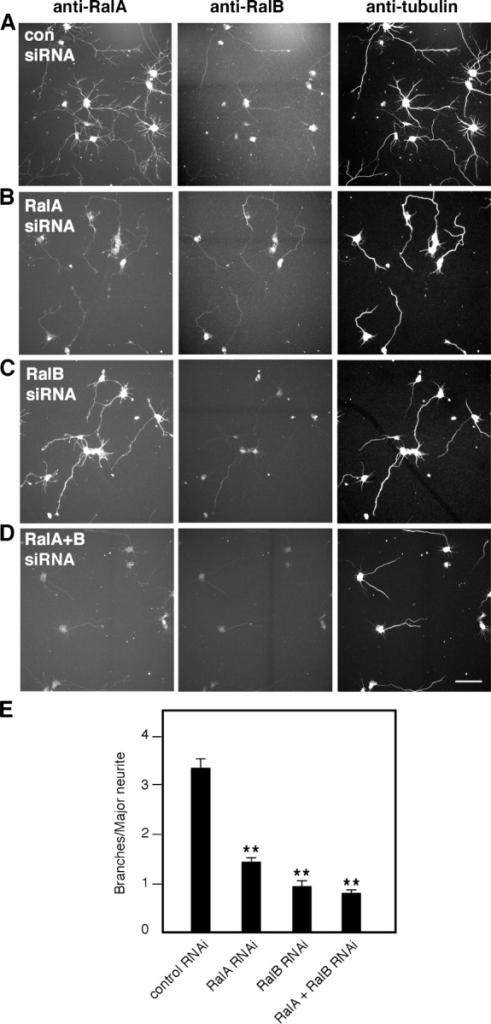 Depletion of endogenous Ral by RNAi decreases branching. Cortical neurons fixed and stained for RalA, RalB, and tubulin 50 h after nucleofection of the indicated siRNA duplexes. (A) Neurons nucleofected with control siRNA display branched neurites visualized by the tubulin staining. RNAi of RalA (B), RalB (C), and both Ral isoforms (D) decreases branching complexity, particularly in major neurites. Bar, 50 μm. (E) Quantitative analysis of branching from major neurites of cortical neurons after RNAi for RalA, RalB, or both Ral isoforms (means ± SEM: control RNAi, 3.39 ± 0.19; RalA RNAi, 1.41 ± 0.11; RalB RNAi, 0.91 ± 0.13; RalA + RalB RNAi, 0.77 ± 0.09; **, P < 0.0001).