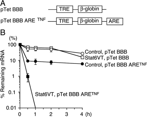 ARE in 3′UTR of TNF-α mRNA induces rapid decay of mRNA in Stat6VT expressing cells. (A) Schema of pTet-BBB ARETNF and pTet-BBB (28). (B) CFTL-15 cells were infected with MSCV-Stat6VT-IRES-Thy1.1 retrovirus or control MSCV-IRES-Thy1.1 retrovirus. Sorted Thy1.1+ cells were transfected with either pTet-BBB ARETNF or pTet-BBB in the presence of pTet-Off and G418-resistant clones were selected by limiting dilution. These clones were cultured in the absence of DOX for 4 h to resume transcription from pTet-BBB ARETNF or pTet-BBB, which was followed by the addition of 100 ng/ml DOX to block further transcription. At indicated times after the addition of DOX, total RNA was isolated and Taqman PCR analysis for rabbit β-globin and glyceraldehydes-3-phosphate dehydrogenase (as a control) was performed. Representative data from five independent experiments are shown.