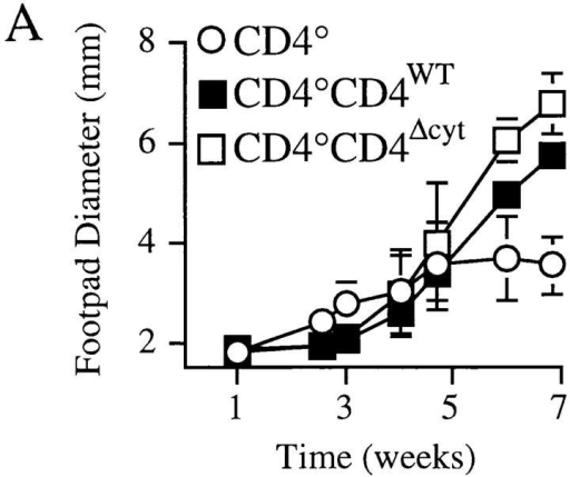 The cytoplasmic domain of CD4 is not essential for susceptibility or Th2 responses after L. major infection. (A) BALB/c CD4° and  CD4° transgene-reconstituted mice (CD4°CD4WT, CD4°CD4Δcyt) were  infected with L. major as described in Materials and Methods. The results  shown are the mean footpad measurements of groups of two animals each  and are representative of five separate experiments using 9 CD4°CD4WT  and 11 CD4°CD4Δcyt mice. (B) Popliteal lymph node cells from infected  BALB/c CD4° (−) and CD4° transgene-reconstituted mice (WT, Δcyt)  were analyzed for parasite-specific cytokine secretion after restimulation  in vitro. The results shown are the mean of triplicate determinations from  individual mice, and are representative of four separate experiments using  eight CD4WT and nine CD4Δcyt mice.