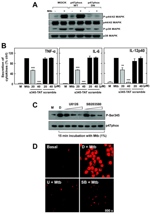 The cytosolic NADPH oxidase subunit p47phox and MAPK activation is mutually dependent on the ROS generation and cytokine production by s-Mtb-stimulated microglia. A) p47phox is required for s-Mtb-induced MAPK activation. BV-2 cells were transfected with wild-type p47phox (WT), dominant-negative p47phox (DN), or empty vector. The cells were then stimulated with 1% s-Mtb for 30 min, harvested, and subjected to Western blot analysis to detect total and phosphorylated ERK1/2 and p38. B) p47phox phosphorylation at Ser345 is required for s-Mtb-induced cytokine production. BV-2 cells were pre-treated with TAT-Ser345 peptide (20 or 40 μM) or TAT-scramble peptide (20 or 40 μM) and stimulated with 1% s-Mtb for 18 h. The supernatants were analyzed for TNF-α, IL-6, and IL-12p40 production by ELISA. Data are presented as the percentage of the control. Significant differences compared to cultures incubated with s-Mtb alone: **, P < 0.01; ***, P < 0.001. C) MAPK activation is essential for p47phox activation. After pretreatment for 30 min with inhibitors of either MEK1 (U0126; 5, 10, or 20 μM) or p38 (SB203580; 1, 5, or 10 μM), BV-2 cells were stimulated with 1% s-Mtb for 30 min. The cells were then harvested and subjected to Western blotting to detect phosphorylated pSer345 and p47phox. D) MAPK activity is required for s-Mtb-induced superoxide production. BV-2 cells were pretreated with U0126 (10 μM) or SB203580 (5 μM) for 30 min and then incubated with DHE (for superoxide detection) after stimulation with 1% s-Mtb for 30 min. The live cells were washed with serum-free medium and imaged using confocal microscopy. The images are representative of three independent experiments. M, medium only; D, 0.1% DMSO as a solvent control.