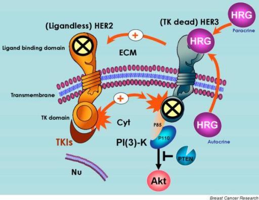 mechanisms of her2 her3 activation in breast cancer cel open i. Black Bedroom Furniture Sets. Home Design Ideas