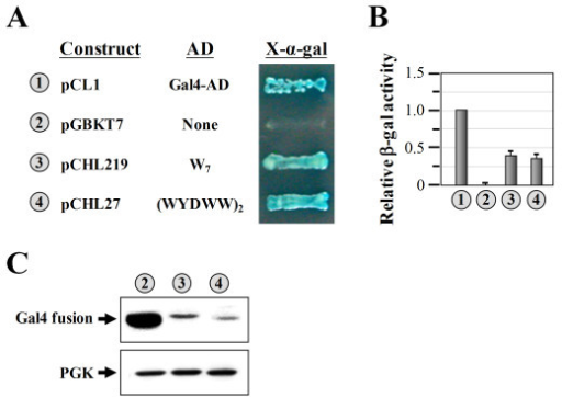 Assays of the transcriptional activity of W7 using the Gal4-based system. (A) Transcriptional assays. W7 and (WYDWW)2 were expressed as fusions to the Gal4-DBD, and the abilities of the resulting fusion proteins to turn on the reporter genes (HIS3 and MEL1), which are controlled by distinct Gal4-responsive promoters, were tested. (B) Quantitative assays of β-gal activity. (C) Western blot analysis of the expressions of Gal4-DBD fusion proteins. Upper panel, LexA fusion protein; lower panel, PGK (as a loading control). The numbers (circled) in A, B, and C denote the constructs shown in A.