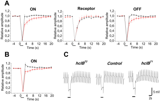 Dynamics of dark sensitivity recovery after short-term light adaptation. A continuous series of 0.3 s stimuli was presented in the dark. Short-time light adaptation was achieved by using 2 s adapting stimuli (denoted by bars under the time scale). A: Dynamics of sensitivity recovery of the ON transient (left), ERG receptor component (in the middle) and OFF transient (right) in the wild-type flies (black squares; n=17), and hclBT2  mutant (red circles; n=15). Test stimulus intensity It)=4.73 log quanta s−1 μm−2; background intensity Ib)=6.66 log quanta s−1 μm−2. While instant sensitivity recovery of the ON and OFF transients is seen in wild-type flies, the sensitivity recovery in the hclBT2 mutants is delayed (two way analysis of variance [ANOVA], p=7.42.10−10 for the ON response and p=6.8.10−8 for the OFF response in these particular conditions). B: Postadaptational potentiation of the ON transient in the wild-type-flies (n=22) obtained using the following combination of test and adapting stimuli: It=4.73 log quanta s−1 μm−2, Ib=6.16 log quanta s−1 μm−2. Postadaptational potentiation is lacking in the hclBT2 (n=19) mutant flies. All labels are as in A. C: Original electroretinogram (ERG) records, obtained from a wild-type control fly (in the middle), hclBT2 mutant (on the left), and hclBT1 mutant (on the right). Stimulation conditions are as in B, In the first few seconds after the termination of the 2 s light-adapting stimulus, a postadaptational potentiation is seen in the wild-type fly, while a delayed sensitivity recovery is seen in the two mutants.