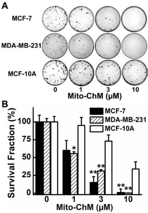 Effects of Mito-ChM on colony formation in MCF-7, MDA-MB-231 and MCF-10A cells. (A) MCF-7, MDA-MB-231 and MCF-10A cells were treated with Mito-ChM (1–10 μM) for 4 h and the colonies formed were counted. (B) The survival fraction was calculated under the same conditions as in (A). Data shown represent the mean ± SEM. *, P < 0.05, **, P < 0.01 (n = 6) comparing MCF-7 and MDA-MB-231 with MCF-10A under the same treatment conditions.