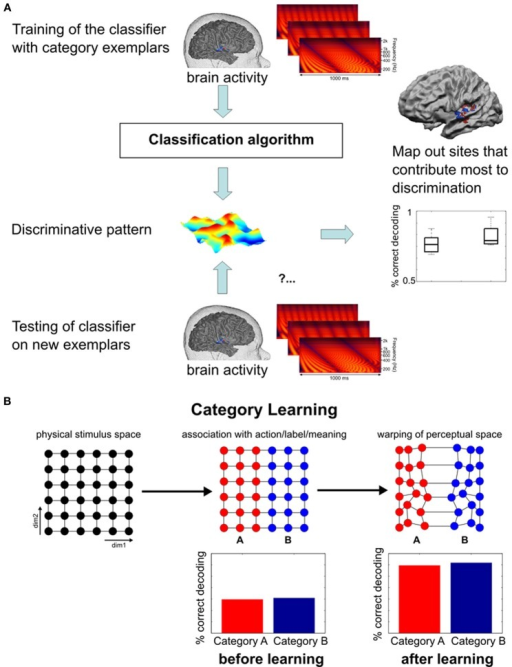 Functional MRI pattern decoding and rationale for its application in the neuroimaging of learning. (A) General logic of fMRI pattern decoding (Figure adapted from Formisano et al., 2008). Trials (and corresponding multivariate responses) are split into a training set and a testing set. On the training set of data, response patterns that maximally discriminate the stimulus categories are estimated; the testing set of data is then used to measure the correctness of discrimination of new, unlabeled trials. For statistical assessment, the same analysis is repeated for different splits of learning and test sets. (B) Schematic representation of the perceptual (and possibly neural) transformation from a continuum to a discrete categorical representation. The first plot depicts an artificial two-dimensional stimulus space without physical indications of a category boundary (exemplars are equally spaced along both dimensions). During learning, stimuli are separated according to the relevant dimension, irrespective of the variability in the second dimension. Lasting differential responses for the left and right half of the continuum eventually lead to a warping of the perceptual space in which within-category differences are reduced and between-category differences enlarged. Graphics inspired by Kuhl (2000). Thus, in cortical regions where (sound) categories are represented, higher fMRI-based decoding accuracy of responses to stimuli from the two categories is expected after learning.