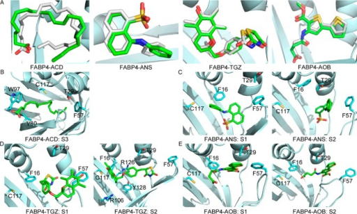 Representative structures of populated ensembleson 2D free energysurfaces. (A) Superposition of ligands in the crystal structure andstate X in Figure 6. Carbons in the crystalstructure are white, and carbons in X are green. (B) Representativestructure of S3 for the FABP4–ACD complex. In S3, FABP4 adoptsthe closed form and ACD stretches out of the binding cavity from theaperture enclosed by Val80 and Trp97. (C) Representative structuresof S1 and S2 for FABP4–ANS. (D) Representative structures ofS1 and S2 for FABP4–TGZ. (E) Representative structures of S1and S2 for FABP4–AOB. Carbons of ligands are green, carbonsof residues are cyan, oxygen is red, nitrogen is blue, and sulfuris yellow.