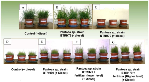 Experimental setup illustrating different treatments.Ryegrass vegetated in uncontaminated soil (A), ryegrass vegetated in uncontaminated soil and inoculated with Pantoea sp. strain BTRH79 (B), inoculation of Pantoea sp. strain BTRH79 in diesel contaminated soil (C), ryegrass vegetated in diesel contaminated soil (D), ryegrass vegetated in diesel contaminated soil and inoculated with Pantoea sp. strain BTRH79 (E), ryegrass vegetated in diesel contaminated soil treated with lower level of fertilize and inoculated with Pantoea sp. strain BTRH79 (F), and ryegrass vegetated in diesel contaminated soil treated with higher level of fertilizer and inoculated with Pantoea sp. strain BTRH79 (G).