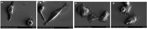 The scanning electron microscopy images of U-2OS cells cultured on surfaces with different chemical functional groups for 6 h. (A) -CH3; (B) -NH2; (C) -OH; and (D) -COOH surfaces. Scale bar, 20 μm.