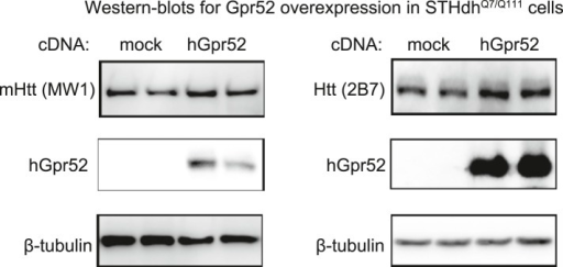 Over-expression of human Gpr52 cDNA in STHdh cells.Representative western-blots showing increased Htt levels and over-expression of human Gpr52 (hGpr52) in STHdhQ7/Q111 transfected with the hGpr52 cDNA.DOI:http://dx.doi.org/10.7554/eLife.05449.007