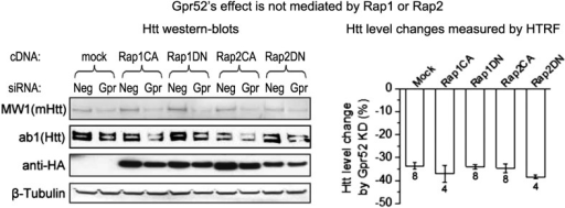 Gpr52's effect is not mediated by Rap1 or Rap2.Left: Representative western-blots of STHdhQ7/Q111 cells transfected with the Gpr52 siRNA (Gpr52_si2) versus control siRNA, and then with constitutively active or dominant negative Rap1 (Rap1CA or Rap1DN) or Rap2 (Rap2CA or Rap2DN). The Bars plot: Htt level reduction (%) measured by 2B7/2166 HTRF of the total lysates of cells with same transfections as in the western-blots.DOI:http://dx.doi.org/10.7554/eLife.05449.009