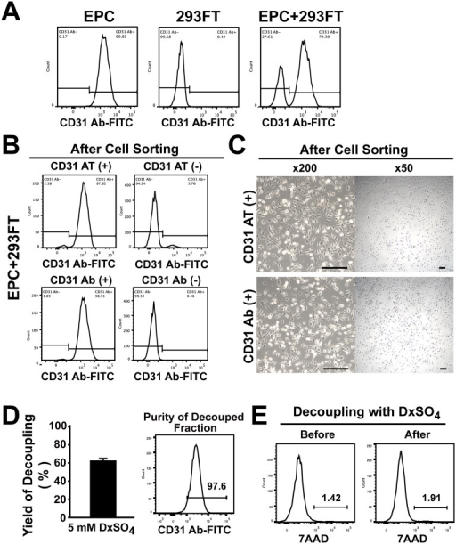 CD31 aptamers isolate EPCs from the mixture of EPCs and 293FT cells and EPCs are decoupled from CD31 aptamers.(A) EPCs, 293FT cells, or the mixture of EPCs and 293FT cells were analyzed by flow cytometry after staining cells with FITC-labeled anti-human CD31 antibodies (n = 3). (B) The mixture of EPCs and 293FT cells was subjected to magnetic bead sorting using CD31 aptamers (AT-1, biotin-labeled) (upper panel) or CD31 antibodies (lower panel). (+) indicates the fraction with positive selection and (-) indicates the fraction with negative selection. Flow cytometry analysis of each fraction with CD31 antibodies (FITC-labeled) after isolation is shown (n = 3). (C) Bright field images of cultured cells in (+) fraction after magnetic bead isolation of the mixture of EPCs and 293FT cells with CD31 aptamers (upper panel) or CD31 antibodies (lower panel) are shown. Scale bar = 200 μm (n = 3). (D) Decoupling of EPCs from CD31 aptamer-EPC complexes by treatment with DxSO4. EPCs were decoupled from the CD31 aptamer-EPC complexes and recovery yield was calculated by comparing cell numbers before and after decoupling with DxSO4 (left panel) (n = 4). Flow cytometry analysis of decoupled cells with CD31 antibody is shown in the right panel. (E) Viability of EPCs before and after decoupling with DxSO4 is shown by flow cytometry analysis (n = 5).
