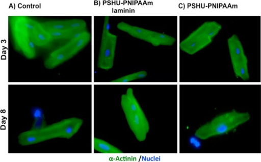 Fluorescence sarcomeric α-actinin (green)and DAPI (blue)staining of ARVM in different conditions: (A) 2D tissue culture platecoated with laminin (control), (B) 3D PSHU-PNIPAAm-laminin, and (C)3D PSHU-PNIPAAm. Top-row panels ARVM after 3 days of culture. Bottom-rowpanels ARVM after 8 days of culture. Compared to control groups wefound that the 3D PSHU-PNIPAAm-laminin matrix allows a long-term ARVMsurvival with a well-defined cardiac phenotype represented by a sarcomerestriation.