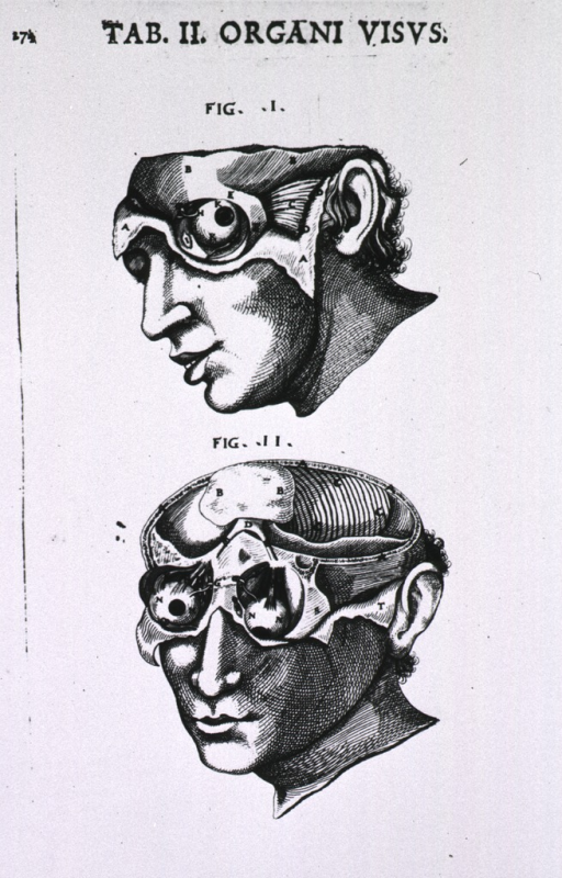 <p>Two figures showing the eye and related tissue.</p>