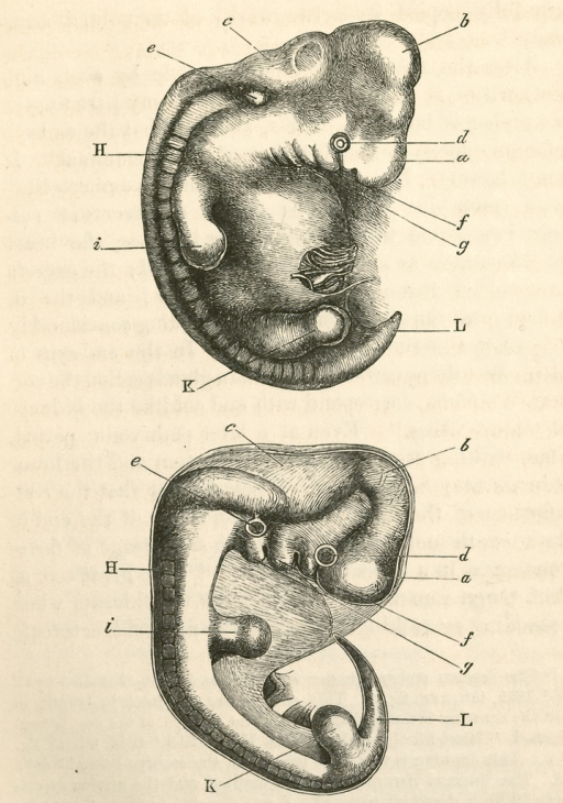 <p>Image of page 15 from The descent of man, and selection in relation to sex / by Charles Darwin. London : John Murray, 1871. Illustration of two embryos. Upper figure human embryo, from Ecker. Lower figure that of a dog, from Bischoff. Parts are labeled in each figure for comparison.</p>