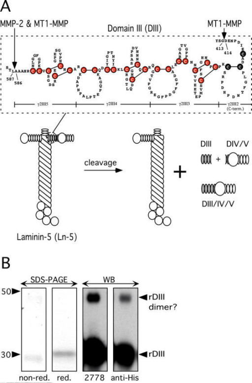 Characterization of DIII of Ln-5 γ2-chain. (A) Schematic depiction of DIII. rDIII encompasses the most COOH-terminal 3.5 EGF-like repeats (γ2III5, 4, 3, and COOH-terminal part of 2) of rat Ln-5 γ2-chain DIII. Six cysteines (filled circles) highlight the EGF-like domain signature, and the LE repeat signature is characterized by eight cysteines and an additional loop. The position of rDIII within the Ln-5 cruciform structure and the products of MMP cleavage are shown. (B) Characterization of rDIII using SDS-PAGE and WB. In SDS-PAGE (two left panels), rDIII resolved as a single band under both nonreducing and reducing conditions. Purified rDIII was judged to be better than 95% homogenous by Coomassie blue staining. In WB of reducing PAGE (two right panels), the rDIII band was recognized by both 2778 and anti-His-tag, as expected. A much fainter, higher mol wt band was also visible, which is likely dimerized rDIII. The apparent mol wt was calculated based on pre-stained mol wt standard SeeBlue® (Invitrogen).