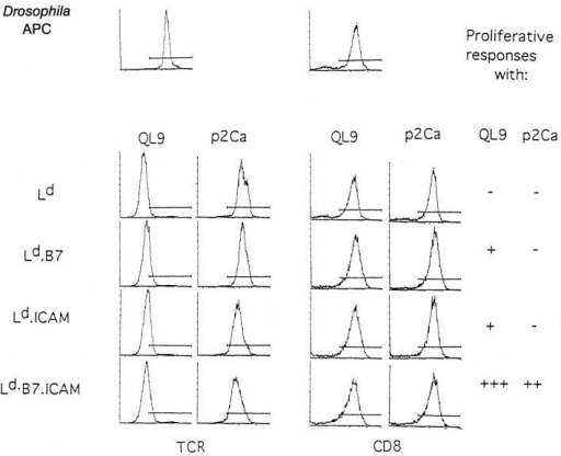 Influence of costimulation on TCR downregulation and T cell  activation. Purified CD8+ 2C cells (5 × 105) were incubated with the indicated transfected Drosophila cells (1 × 106) plus p2Ca or QL9 peptides  (10 μM) in bulk (2 ml) culture for 12 h and stained for TCR (1B2) and  CD8 expression. (Top) staining of noncultured 2C cells is shown as a control. The summarized data on proliferative responses of 2C cells to p2Ca  and QL9 peptides are taken from Cai et al. (21).
