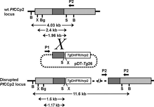 Schematic of the PfCCp2 locus, the disruption plasmid construct pPfCCp2-KO (using the pDT-Tg23 vector), and the organization of the PfCCp2 locus after integration by homologous recombination. The coding region of PfCCp2 (gray) is split into a region representing the portion homologous to the disruption plasmid (dark gray). The T. gondii DHFR gene and regulatory cassette are represented by a white box. Approximate location of restriction enzyme sites (B, BclI; Bg, BglII; S, SpeI; X, XbaI) and sizes of restriction digest fragments are indicated below the WT and disrupted PfCCp2 loci (refer to Southern blot analysis shown in Fig. S2). Amplification of a PCR product using the primers P1 and P2 was diagnostic of homologous integration. The PfCCp3 gene locus was similarly disrupted.