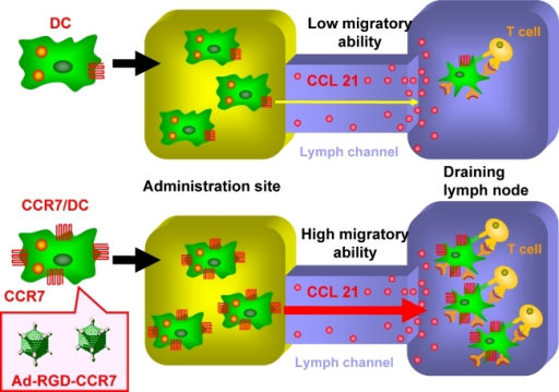Enhancement of DC migration to lymphoid tissues by chemokine receptor expression on DCs. Increasing the migratory ability of a DC vaccine toward lymphoid tissue would remarkably improve the efficacy of DC-based immunotherapy. The chemokine receptor (CCR7) facilitates DC migration to lymphoid tissues. Superior lymphoid tissue-accumulation of DCs transduced with the CCR7 gene (CCR7/DCs) is advantageous as a vaccine carrier because it efficiently activates immune effector cells in regional lymph nodes.