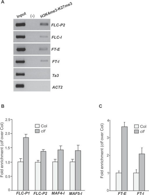 "Interaction of the CLF-dependent H3K27 trimethylation with H3K4 trimethylation in its target-gene chromatin.(A) Sequential ChIP analysis of FLC and FT chromatin. The chromatin from wild-type Ws seedlings was immunoprecipitated first with anti-trimethyl H3K4 and second with anti-trimethyl H3K27. Examined regions are as illustrated in Figure 4A. ""Input"" is the total DNA prior to the first immunoprecipitation (diluted 800 times); Ta3, a heterochromatic locus lacking of H3K4me3 and ACT2, a constitutively expressed locus lacking of H3K27me3, served as negative controls. ""(-)"" is the negative control for immunoprecipitation, residual DNA from the rabbit IgG immunoprecipitation. (B) Levels of trimethyl H3K4 in the FLC, MAF4 and MAF5 chromatin in clf seedlings relative to Col determined by real-time quantitative PCR. Amounts of DNA fragments from Col and clf seedlings after ChIP were quantified and subsequently normalized to an internal control (TUB2). The fold enrichments of clf over Col are shown, and the values shown are means±SD. (C) Levels of trimethyl H3K4 in FT chromatin in clf seedlings relative to Col determined by real-time quantitative PCR. The fold enrichments of clf over Col are shown, and the values shown are means±SD."