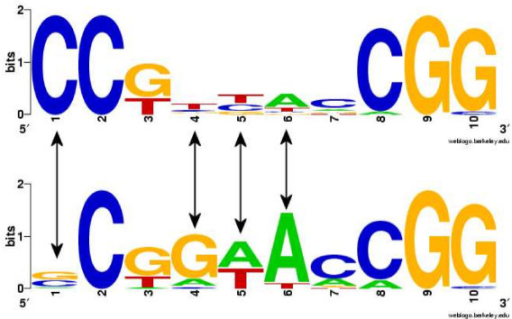 WebLogos http://weblogo.berkeley.edu for the two subgroups of Leu3 binding sites. It can be seen that the positions with strong sequence variability (positions 1, 4, 5 and 6) have been recognized by the CSI structure (indicated by arrows). (Figure reproduced from [13].)