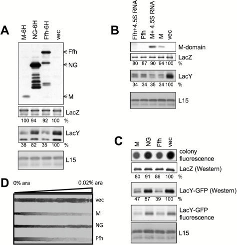 "Effect of the Ffh M domain on expression of membrane proteins. E. coli cells harboring a plasmid encoding arabinose-inducible M, NG, and/or Ffh were induced to overexpress the indicated proteins. The expression levels of the indicated proteins were analyzed by Western blotting (panels A, B and C, using anti-Ffh, LacY, LacY-GFP, LacZ, or anti-His tag antibodies) or by ""in-gel"" fluorescence (C). The expression levels of LacZ and LacY were quantified and are shown as a percentages of their expression levels in samples with empty vector. The experiments were repeated three times, and the results shown are representative, with standard deviations that did not exceed 10%. As a loading control, antibodies against the ribosomal protein L15 were used. (D) E. coli IY228 (expressing chromosomally encoded LacY-GFP) harboring plasmids encoding arabinose-inducible M domain, NG domain, or Ffh or carrying empty vector were grown overnight on nylon membranes covering an LB agar plate containing a linear concentration gradient of arabinose (0 to 0.02%). The fluorescence was recorded using Typhoon."