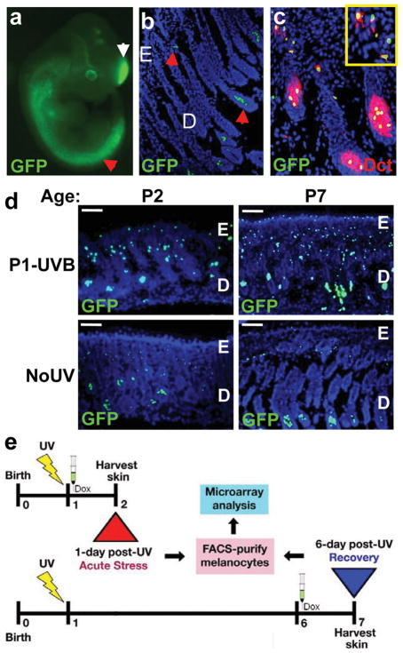 Melanocyte-specific GFP expression reveals UVB-induced activationa, E11.5 iDct-GFP embryo showing GFP+ cells in neural crest (red arrow) and telencephalon (white arrow). b, In 7-day old pup skin GFP+ cells are located in the bulb (lower arrow) and bulge (upper arrow) regions of hair follicles. Blue = DAPI; E, epidermis; D, dermis. c, Immunohistochemistry with anti-Dct antibody shows co-localization with GFP in iDct-GFP skin. d, UVB-induced activation of melanocytes, characterized by proliferation and migration towards epidermis. Dorsal skins were examined at 1 day (at age P2) and 6 days (P7) post-irradiation. Scale bars = 40 μm. e, Schematic of the regime for isolating GFP+ melanocytes by FACS. Pups are irradiated at P1, and dorsal skins harvested at either P2 (24 h post-UV) or P7 (6 d post-UV). Doxycycline injections are always given after irradiation, 24 h prior to skin harvest.