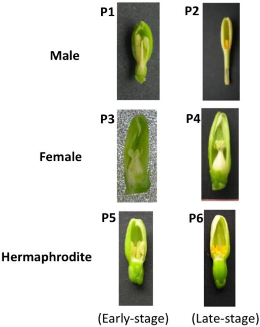 how to make male papaya to female