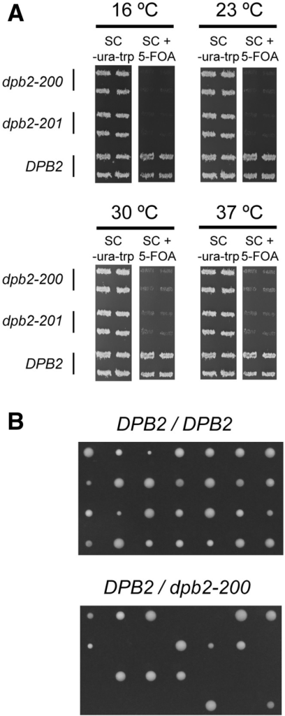 The isolated dpb2-200 and dpb-201 alleles cannot support growth. (A) The two alleles, dpb2-200 and dpb2-201, were tested for lethality and temperature sensitivity in plasmid shuffling experiments in E134-dpb2Δ cells. 5-FOA was used for selection against the wild-type URA3-containing pRS316-DPB2 plasmid. The pRS314-DPB2 plasmid with the TRP1 marker was the wild-type control that could grow on 5-FOA. Four clones of each transformant are presented. (B) Tetrad analysis of a DPB2/DPB2 homozygote and a DPB2/dpb2-200 heterozygote.