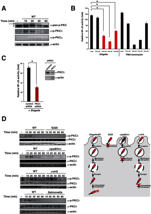 Shigella triggers PKC–NF-κB activation.(A) HeLa cells were infected with Shigella. Cell lysates were prepared at the indicated time points and subjected to immunoblotting with anti-phospho-PKC antibody. *non-specific bands. (B) NF-κB luciferase assays of 293T cells transiently transfected with an NF-κB reporter plasmid and empty vector or dominant-negative forms of PKC. After 24 h, cells were infected with Shigella or treated with PMA for 3 h, and luciferase activity was measured. Results are presented as fold change relative to the activity of uninfected or unstimulated cells. *P<0.01. (C) Cells were treated with PKCδ siRNA and transiently transfected with an NF-κB reporter plasmid. The cells were infected with Shigella and NF-κB reporter activity was measured. (D) left; HeLa cells were infected with Shigella WT, invasin expressing ΔipaB mutant, ΔvirG mutant, or Salmonella. The cell lysates were harvested at the indicated time points and subjected to immunoblot. right: A model of Shigella invasion into the epithelial cells.