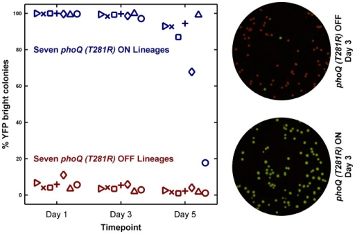 Long-term culturing demonstrates the metastability of the ON state in LB.Seven independent lineages of phoQ (T281R) OFF and phoQ (T281R) ON were established and maintained as depicted in detail in Figure S4. OFF and ON colonies were inoculated in LB and grown for 24 hours to generate a Day 1 culture. For each lineage, the Day 1 culture was diluted 106-fold to generate a corresponding Day 2 culture, and this procedure was repeated for a total of 5 days. Day 1, 3, and 5 cultures were also diluted and plated in duplicate on minimal medium plates. The mean percentage of YFP-bright colonies on these plates was plotted in maroon (phoQ (T281R) OFF) or blue (phoQ (T281R) ON) with different symbols representing independent lineages. Representative merged images of Day 3 plates are shown on the right. These were constructed by merging the background-subtracted CFP image with its corresponding background-subtracted YFP image as the red and green channels respectively.