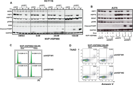 Combination of HSF1 knockdown and HSP90 inhibitor leads to a decreased level of p-ERK and an increased cell apoptosis rateA. Western blotting analysis of HCT116 cells expressing the inducible shHSF1 treated with different doses of NVP-HSP990. shNTC or shHSF1 transduced HCT116 cells were treated with or without Doxycycline for 3 days and were further treated with different doses of NVP-HSP990 for 48h. B. Western blotting analysis of A375 cells expressing the inducible shRNA treated with different doses of NVP-HSP990. shNTC or shHSF1 transduced A375 cells were treated with or without Doxycycline for 3 days and were further treated with NVP-HSP990 100nM for 48h. C. Cell cycle analysis of A375 cells treated with NVP-HSP990 with or without HSF1 knockdown. shHSF1 transduced A375 cells were treated with or without Doxycycline for 3 days and were further treated with NVP-HSP990 100nM for 48h. The percentage of S+G2M cells were determined by PI staining. D. Cell apoptosis analysis of A375 cells with HSF1 knockdown and NVP-HSP990 treatment. shHSF1 transduced A375 cells were treated with or without Doxycycline for 3 days and were further treated with NVP-HSP990 100nM for 48h. The apoptotic cells represented by 7AAD+AnnexinV+ were determined by FACS.