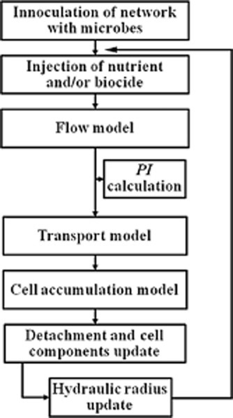 A simplified model algorithm depicting the general sequence of model calculations during each timestep. Biofilm is treated as an adsorbed phase on pore walls and detached biofilms are produced via the network outlet.