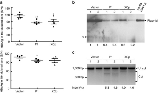In vivo destruction of intrahepatic (hepatitis B virus) HBV genomes by the HBV-specific CRISPR/Cas9 system. Sera from mice receiving pAAV/HBV 1.2 together with the gRNA/Cas9 dull expression plasmid, vector (n = 4), gRNA P1 (n = 4), or gRNA XCp (n = 4), were collected after hydrodynamic injection. (a) Levels of HBsAg in sera were measured at days 2 and 7 posthydrodynamic injection as shown in the upper and bottom panel, respectively. The results were presented as individual samples with mean ± SEM. Statistical significance was calculated by the Student's t-test and indicated by asterisks (*P < 0.05, **P < 0.01). (b) Analysis of intrahepatic HBV DNA by Southern blotting. 0.1 ng of pAAV/HBV 1.2 plasmid was loaded as a positive control. Two samples from each group were analyzed in this experiment. The band intensity was determined by software ImageJ. The numbers in the bottom indicate the relative intensities of the HBV expression plasmids in each sample. (c) Results of T7E1 assay. The percentage of mismatched sequences from two of the gRNA-P1- or gRNA-XCp-treated mice (Indel %) was determined by T7E1 assay. The numbers in the bottom indicate the percentage of Indel.