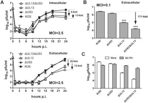 The yields of extracellular virus are significantly reduced in Vero cells infected with HSV-1 ΔUL13 mutants.(A) Vero cells were inoculated with wild type HSV-1 KOS or HSV-1 kinase mutants at MOIs of 2.5 pfu per cell. Viral yields were determined by plaque assay in culture supernatants (extracellular) and cell lysates (intracellular) at 1, 3, 6, 9, 12, 15, 18, and 24 hours post-inoculation. (B) Vero cells were inoculated with wild type HSV-1 KOS or HSV-1 kinase mutants at MOIs of 2.5 pfu per cell. Viral yields were determined by plaque assay in culture supernatants (extracellular) collected at 36 hours post-inoculation. (C) Vero and UL13+- cells were inoculated with the HSV-1 ΔUL13/ΔUS3 mutant at an MOI of 0.1 pfu per cell. Viral yields were determined by plaque assay in culture supernatants (extracellular). For all panels, results are presented as the mean virus yield ± sem (n = 6; ***—p<0.001).