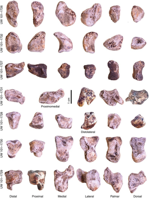 H. naledi Hand 1 wrist bones.The associated carpal bones of Hand 1, showing (from top to bottom) the scaphoid, lunate, triquetrum, trapezium, trapezoid, capitate and hamate in standard anatomical views. The trapezium is shown in proximomedial view to depict the trapezoid and scaphoid facets, and the trapezoid is shown in distolateral view to demonstrate the distinctive modern human-like 'boot-shape'. All bones to scale.