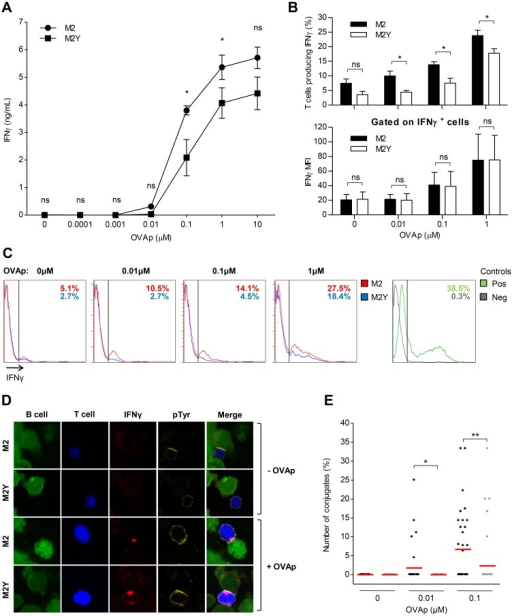 IFN-γ production in TH cells conjugated with M2-expressing B cells requires specific peptide presentation.A20 B cells stably expressing M2 or M2Y were pulsed overnight, or not, with different concentrations of OVA peptide (OVAp) and incubated with OVAp-specific CD4+ T cells. (A) Extracellular IFN-γ after 20h of incubation. After incubation the supernatant was recovered and analyzed by sandwich ELISA to determine IFN-γ concentration. Supernatants of three independent experiments were tested in duplicate. (B) Upper panel: percentage of T cells producing IFN-γ after 5h of conjugation in the presence of brefeldin A (BFA). Cells were fixed and stained for CD4 with anti-CD4-APC, and for IFN-γ with anti-IFN-γ-PE, and analyzed on a FACS Calibur. Lower panel: IFN-γ mean fluorescence intensity (MFI) of responding T cells. Average of three independent experiments is shown. Statistical significance of the difference between groups was evaluated by a one-tailed unpaired Student's t test. (C) Representative FACS plots of intracellular IFN-γ production. (D) Representative confocal images of IFN-γ polarization to the contact zone. Prior to incubation B and T cells were labelled with CMFDA (green) and CMAC (blue) live dyes, respectively. Cells were incubated for 2.5h, fixed and stained for IFN-γ (red), and for pTyr (yellow). Images are from one representative experiment out of three and were obtained using a Zeiss LSM 510 META microscope. (E) Quantification of conjugates with IFN-γ polarization per image. Conjugates were evaluated by confocal microscopy based on B-TH cell contact, and IFN-γ polarization (red). 45 to 55 images were acquired per sample from three independent experiments. Only images with a minimum of three T cells were considered for analysis. Statistical significance of the difference between groups was evaluated by a Mann-Whitney U test.