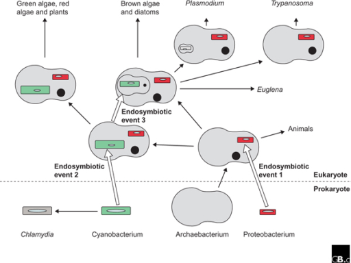 A schematic outline of the acquisition, reduction, and loss of genomes and compartments during evolution. Black arrows indicate evolutionary pathways; white arrows indicate endosymbiotic events in the host cell. Endosymbiotic event 1 occurred at the origin of eukaryotes. The proteobacterial endosymbiont gave rise to mitochondria (the smaller organelles in the bottom part of the diagram). Endosymbiotic event 2 occurred at the origin of plastid-containing cells. Endosymbiotic event 3 represents the secondary and higher-order endosymbioses giving rise to numerous algal phyla, as well as apicomplexans (such as Plasmodium) which have residual plastids, and to trypanosomes, which have no plastid at all. Black, filled circles indicate nuclei or nucleomorphs; ellipses within organelles indicate bacterially derived genomes, which may be reduced or lost completely. More than one kind of host cell and of endosymbiont is involved in the secondary, and in the higher-order, symbioses. The genome of the Archaebacterium is not represented in the diagram.