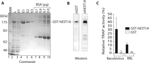 Expression and purification of recombinant GST–hEST1A protein and interaction with in vitro reconstituted telomerase. (A) SDS–PAGE and Coomassie blue staining of GST–hEST1A fractions derived from Hi5 insect cells. Lane 1: MW: Molecular weight markers. Lane 2: L: GST–hEST1A expressing Hi5 nuclear extract. Lane 3: FT: flow through of GSH-beads. Lanes 4–6: E1, E2 and E3: first, second and third eluates, Lanes 7–10: BSA dilutions. GST–hEST1A is indicated. (B) Western blots with anti-GST and anti-hEST1A antibodies. (C) Relative TRAP activity (%) pulled down with GSH-beads upon incubation of 50 nM GST (white rectangles) or 50 nM GST–hEST1A (fraction E1; black rectangles) with telomerase reconstituted in vitro in insect cell lysates (Baculovirus) or in RRL. Interaction of GST–hEST1A and GST with telomerase in vitro. Bars represent the means ± SD of three independent experiments.