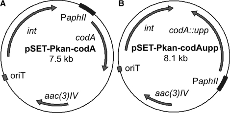 The pSET152 derived integrative plasmids used to introduce the (A) codA or (B) codA::upp cassette into R. equi RE1, expressed under control of the aphII kanamycin resistance cassette promoter (PaphII). The apramycin resistance cassette (aac(3)IV), the Streptomyces PhiC31 integrase gene (int) and the RP4 origin of transfer (oriT) are also indicated.