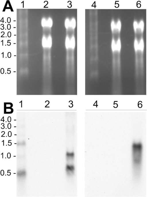 Detection of GFPuv and CAT mRNAs in Rmontanensis700 RNA extracts by Northern blotting.(A) Rickettsial RNA extracts electrophoresed on 1% agarose formaldehyde gels stained with EtBr. Lanes 1 and 4: 0.5 to 4.0 kb RNA marker ladder with sizes indicated at left. Lanes 2 and 5: untransformed R. montanensis RNA (5 µg). Lanes 3 and 6: Rmontanensis700 RNA (5 µg). (B) Northern blots of gels shown in panel A. Lanes 1–3 were hybridized with a GFPuv gene probe and lanes 4–6 with a CAT gene probe.