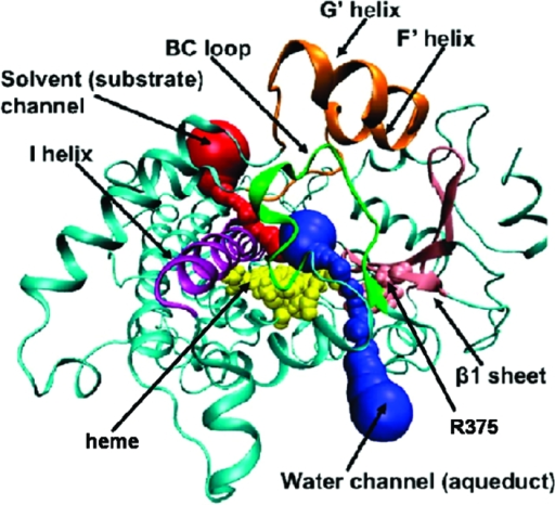 <b>CYP3A4</b> structure with various channels. The heme and R3   OPENi