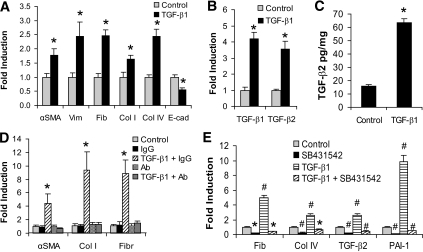 TGF-β1-induced ECM gene and TGF-β2 expression changes in proximal tubular epithelial cells. A: NRK52E cells (Dulbecco's modified Eagle medium, 25 mmol/l glucose, 2% serum) were treated with TGF-β1 (10 ng/ml, 3 days), and the expression of several genes was assessed by real-time QPCR. Significant changes are indicated (*P < 0.05 compared with control). B: The change in expression of TGF-β1 and TGF-β2 genes was assessed by real-time QPCR, and significant changes are indicated (*P < 0.0005 compared with control). C: TGF-β2 proteins levels were measured by ELISA and expressed as pg/mg (*P < 0.0005 compared with control). D: NRK52E cells were incubated with either control IgG (1 μg/ml) or TGF-β2-specific neutralizing antibody (1 μg/ml) for 1 h, and then TGF-β1 was added (10 ng/ml). Cells were harvested 3 days later and subjected to real-time QPCR analysis. The TGF-β2 antibody prevented the increased expression of αSMA, Collagen I, and fibronectin that is induced by TGF-β1, compared with the IgG control antibody (*P < 0.05 compared with control). E: Cells were then treated with TGF-β1 (10 ng/ml, 3 days) in the presence or absence of SB432542, the TGF-β2 receptor inhibitor. Real-time QPCR analysis confirmed that the gene expression changes induced by TGF-β1 are attenuated by SB432542 (*P < 0.05 and #P < 0.001 compared with control).