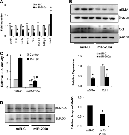miR-200a represses the expression of ECM proteins. A: NRK52E cells were transfected with miR-200a (100 nmol/l), and RNA was harvested after 3 days for real-time QPCR analysis. miR-200a resulted in significantly decreased expression of several ECM proteins including αSMA, collagen (Col) I and IV, and fibronectin (Fibr) (*P < 0.05 compared with control transfected cells). Expression of TGF-β2 was also significantly decreased as was PAI-1, which is downstream of the TGF-β signaling pathway. The expression of E-cadherin (E-cad) was significantly elevated. B: Western analysis demonstrated a significant decrease in αSMA and collagen I by miR-200a, consistent with the RNA expression analysis (*P < 0.05 compared with control transfected cells). The Westerns were quantified and also shown in graph format below the Western blots (*P < 0.05 compared with control). C: NRK52E cells were cotransfected with the p(CAGA)12 SMAD3 activity reporter construct, a β-galactosidase construct, and miR-200a. Four h later, the cells were treated with TGF-β1, and cells were harvested after 3 days. TGF-β1 resulted in increased SMAD3 activity with miR-C, which was strongly inhibited by miR-200a (*P < 0.00005 compared with miR-C control; #P < 0.0005 compared with miR-C with TGF-β1; $P < 0.002 compared with miR-200a control). D: Western analysis of phospho-SMAD3 and total SMAD3 levels in miR-200a-transfected NRK52E demonstrating reduced SMAD3 phosphorylation relative to total SMAD3 protein (*P < 0.05 compared with miR-C control). The Westerns were quantified and shown in graph format (*P < 0.05 compared with miR-C).