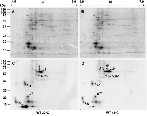 Proteome of soluble fractions of Synechocystis sp. PCC 6803. Soluble proteins (50 μg) from wild-type GS cells grown at 32°C (A) and wild-type GS cells treated for 30 min at 44°C (B) were separated by 2DE and stained with Colloidal Coomassie Briliant Blue G-250. Corresponding autoradiographs (C and D). Dried gels were exposed to X-ray films for 30 h at –70°C. Spot numbers of the identified proteins correspond to those presented in Table 1.